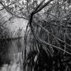 Red Mangrove Tunnel, Turner River, Big Cypress National Preserve, (Everglades), FL