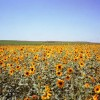 8124-8 - Sunflowers, Haythorne Ranch, Ogallala, NE